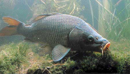 Lers poissons for Poisson carpe